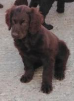 Kerry Blue X Irish water Spaniel pups for sale.