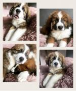 Saint Bernese in Offaly for sale.