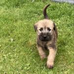 Irish Soft Coat Wheaten Terrier Pups for sale.