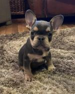 IKC REGISTERED FRENCH BULLDOG PUPPIES for sale.