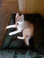 Husky pups [sold].