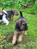 Adorable Terrier X Puppies for sale.