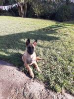 Belgian Malinois Shepherd for sale.