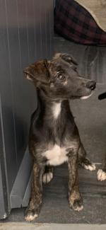 Whippet puppies for sale.