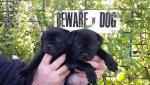Staffordshire bull terrier pups for sale [sold].