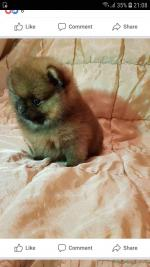 Pomeranian for sale.