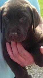 Chocolate Labrador pups for sale.