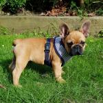 French bulldog puppy for sale.