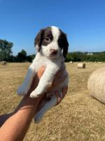 English Springer Spaniel puppies for sale.