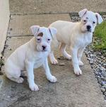 Rare White Boxer Puppies for sale.
