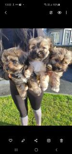 Norfolk terrier X Maltese for sale.