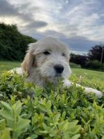 Doodle puppies for sale.