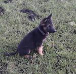 German/Belgian Shepherd for sale.