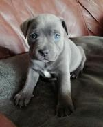 Blue Staffordshire Bull Terrier Pups for sale.