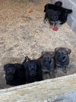 German Shepherds for sale.