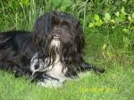 Lhasa apso for sale.