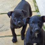 Patterdale terrier for sale.