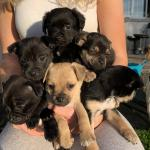 Pug mix for sale.