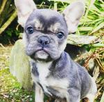 IKC French bulldog puppy for sale.