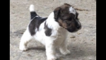 Wire Fox Terriers for sale.