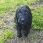 Cockapoo for sale.