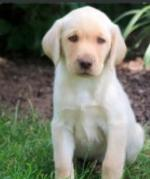 Labrador Puppies Female for sale.