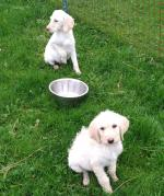 Labradoodle puppies in Carlow for sale.