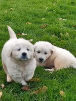 Golden Retreiver puppies for sale.