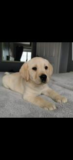 Golden labrador pups for sale.