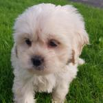 Shih poo for sale.