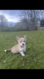 Welsh Corgi Pembroke Puppies for sale.