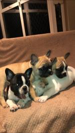 French bulldogs for sale.