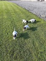 English Pointer for sale.