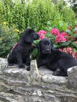 Black Labrador Puppies for sale.
