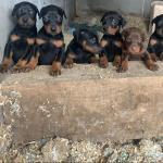 Pedigree non registered Doberman pups. for sale.