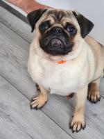 Pug full breed for sale.