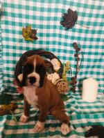 Boxer puppy for sale.