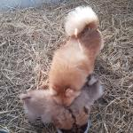 Pomeranian pups for sale.