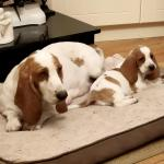 Basset Hounds for sale.