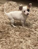 Female Chihuahua puppy for sale.