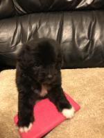 Poodle x Jack Russell for sale.