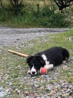 4 Month old Collie Pup for sale.