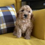 F2 Cockapoo Puppies for sale.