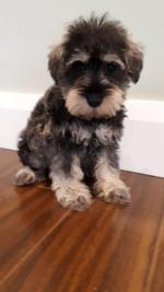 Miniature Schnauzers for sale.