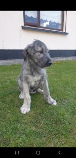 Irish wolfhounds for sale.