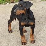 Doberman puppies in Longford for sale.