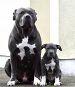 Xl American Bully Pups for sale.