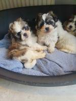 Shihtzu x Maltese for sale.