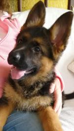 Female IKC German Shepherd puppies for sale.