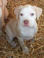 Pitbull pups [sold].